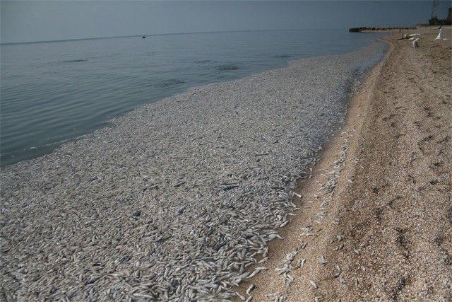 За год количество бычка в Азовском море выросло почти в два раза