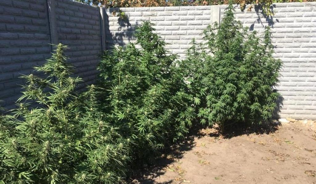 Садівника-любителя посадили на три роки за вирощування конопель