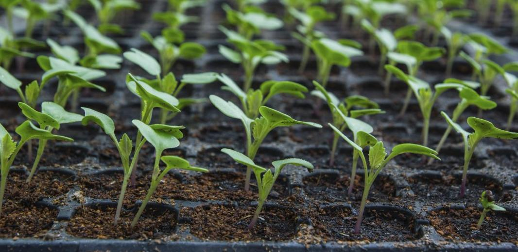 Как выращивают рассаду на продажу 344