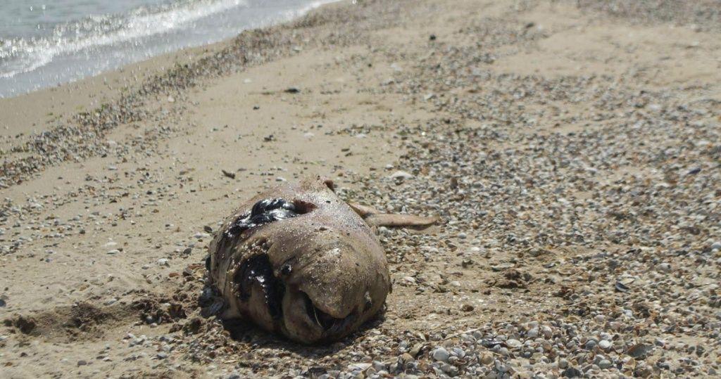 В Азовском море уничтожаются дельфины