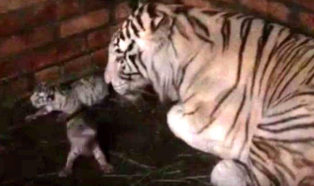 В бердянском зоопарке родились три белых тигренка - видео