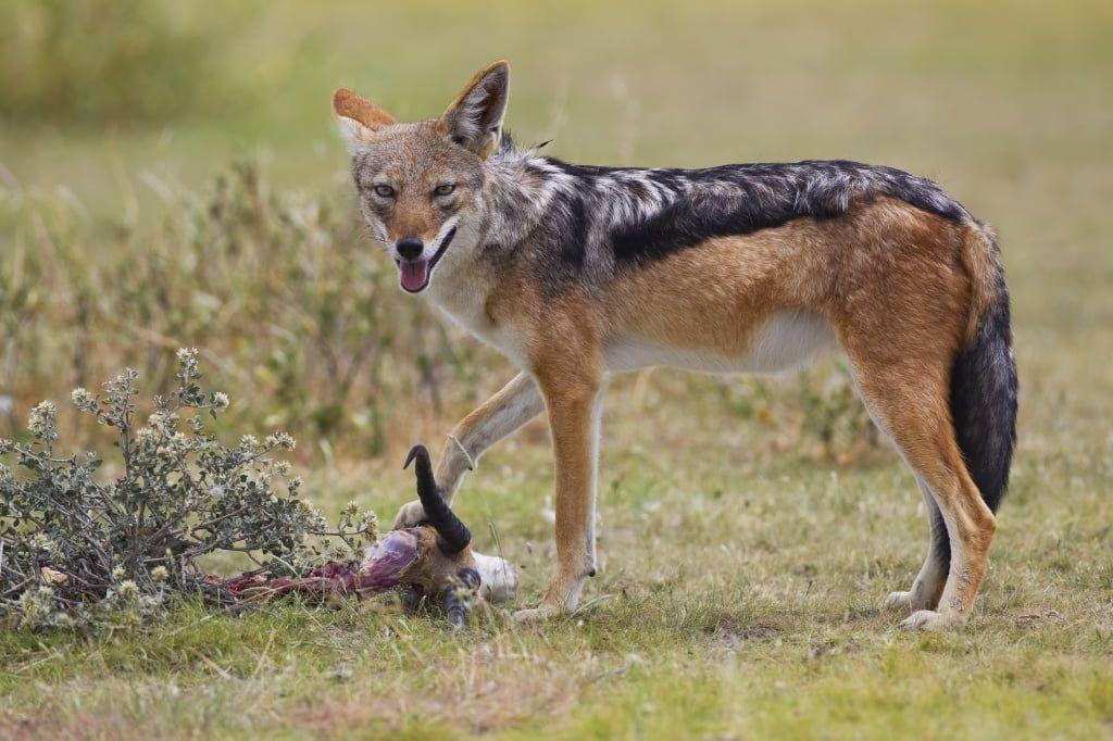 Хищники наступают. В окрестностях Бердянска замечают не только волков, но и шакалов