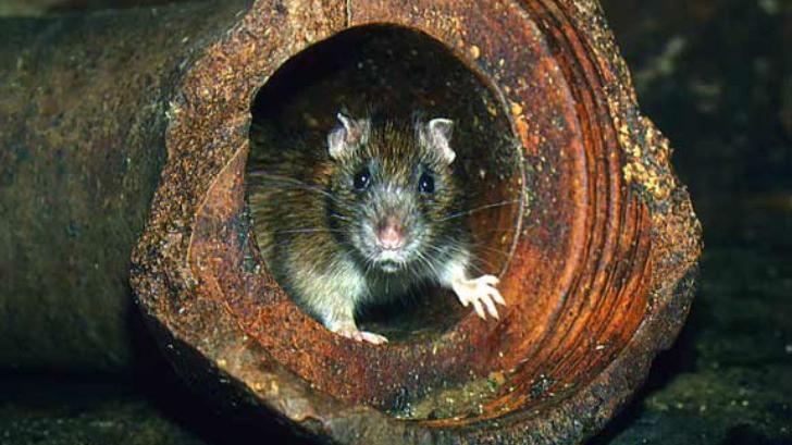 Голів ОСББ в мерії закликали проводити знищення комарів та щурів в підвалах будинків