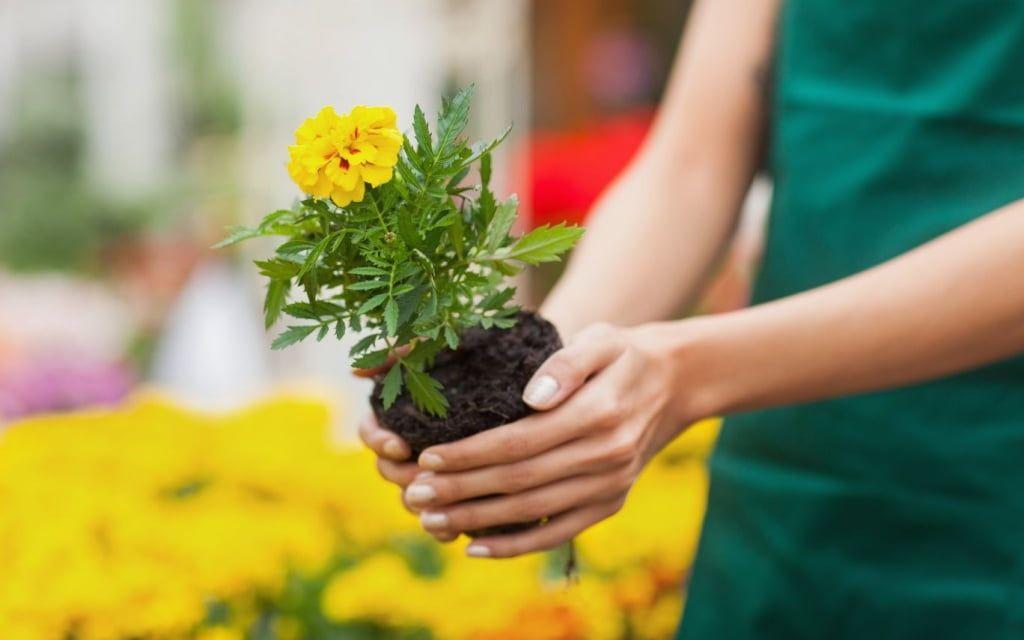 «Зеленгосп» створив декілька клумб. Бердянці оперативно викопують висаджені квіти