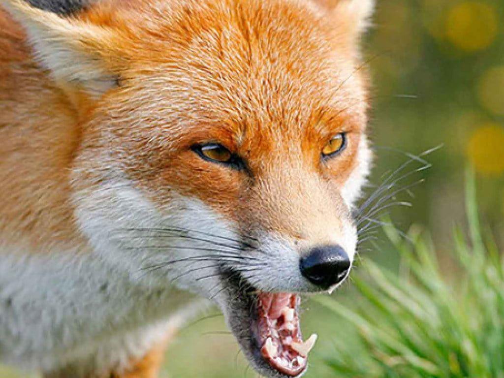 У с. Роза виявлено хвору на сказ лисицю. Накладено карантин на 2 місяці