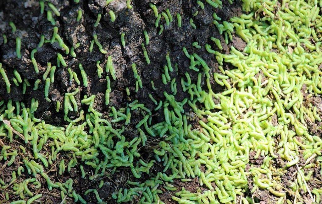 Бердянські дерева атакувала гусінь