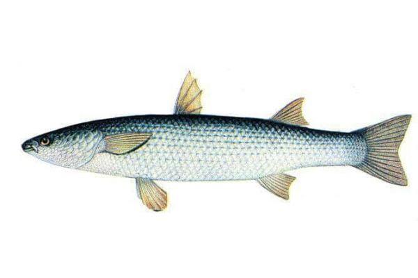 Соленость Азовского моря выросла в 1,5 раза, массово гибнет рыба